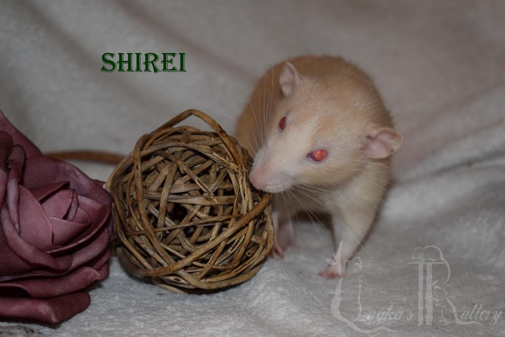 Shirei